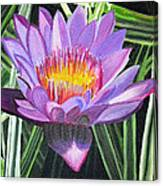 Purple Lotus With Striped Foliage Canvas Print