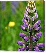 Purple Lupine Flower Canvas Print
