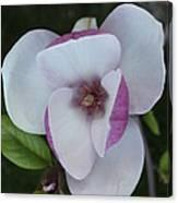 Purple Magnolia Canvas Print