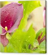 Purple Mini Calla Lily On A Sea Of Green Canvas Print