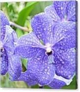 Purple Mokara Orchid Canvas Print
