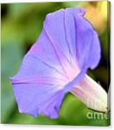 Purple Morning Glory Canvas Print