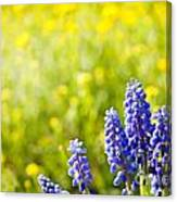 Blue Muscari Mill Bunches Of Grapes Close-up  Canvas Print
