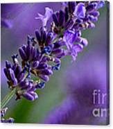 Purple Nature - Lavender Lavandula Canvas Print