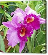Purple Cattleya Orchids Canvas Print