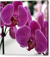 Royal Orchids  Canvas Print