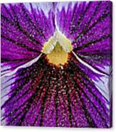 Purple Pansy In Pollen Canvas Print