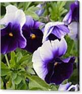 Purple Pansy Melody Canvas Print