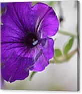 Purple Petunia 2013 Canvas Print