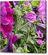Purple Petunias Canvas Print