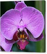 Purple Phalaenopsis Orchids Canvas Print