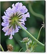 Purple Pincushion Flower Canvas Print
