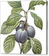 Purple Plum Canvas Print