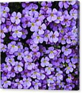 Purple Rockcress Canvas Print