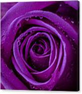 Purple Rose Close Up Canvas Print