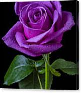 Purple Rose Canvas Print