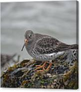 Purple Sandpiper 2 Canvas Print