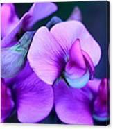 Purple Sweet Peas Canvas Print