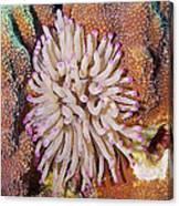 Purple Tip Anemone Canvas Print