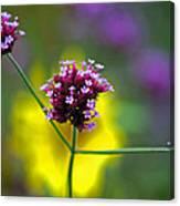 Purple Verbena Flowers Canvas Print