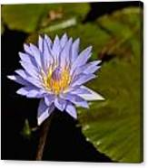 Purple Water Lily 2 Canvas Print