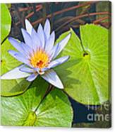 Purple Water Lily In Pond. Canvas Print