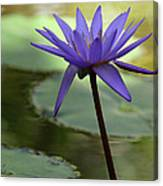 Purple Water Lily In The Shade Canvas Print