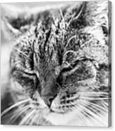 Purring Cat Canvas Print
