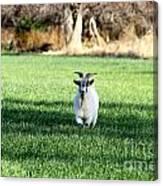 Pygmy Goat Canvas Print