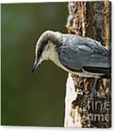 Pygmy Nuthatch Canvas Print