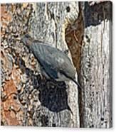 Pygmy Nuthatch At Nest Canvas Print