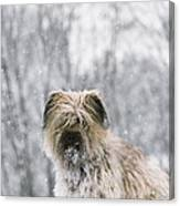 Pyrenean Shepherd Dog Canvas Print