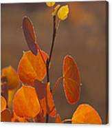 Quaking Aspen In Color   #3749 Canvas Print