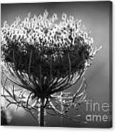 Queen Annes Lace - Bw Canvas Print