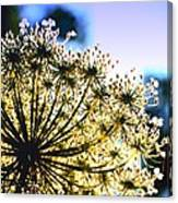 Queen Anne's Lace II Canvas Print