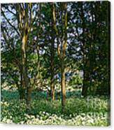 Queen Anne's Lace Makes A White Carpet In The Woods Near Rutland Canvas Print