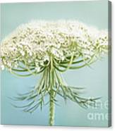 Queen Anne's Lace Wildflower Canvas Print