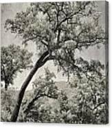 Quercus Suber Retro Canvas Print