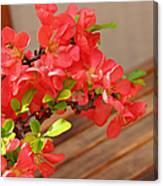 Quince Blossoms Canvas Print
