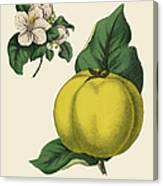 Quince Fruit Tree, Victorian Botanical Canvas Print