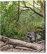 Raccoon At The Lake Canvas Print