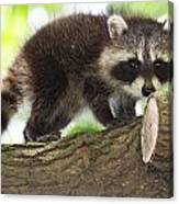 Raccoon Baby Canvas Print