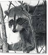 Raccoon - Charcoal Experiment Canvas Print