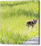Raccoon In Green Field Canvas Print