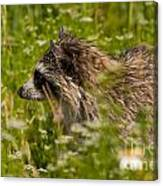 Raccoon In The Meadow Canvas Print