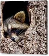 Raccoon In Tree Canvas Print
