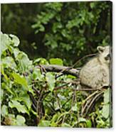 Raccoon Out On A Limb Canvas Print