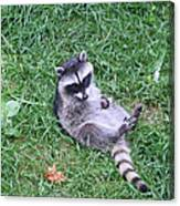Raccoon Plays In The Grass Canvas Print