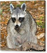 Raccoon Procyon Lotor Adult Foraging Canvas Print