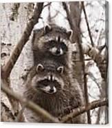 Raccoon Siblings Canvas Print